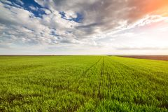 Green wheat field. Agricultural landscape Royalty Free Stock Photo