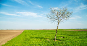 Green wheat field, agricultural landscape. Stock Photography