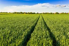 Green wheat field. Agricultural landscape Royalty Free Stock Photography