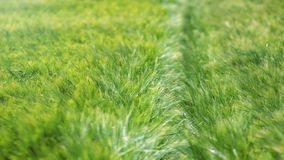 Green wheat field Agriculture background. Green wheat field Green wheat field Agriculture background Stock Photography
