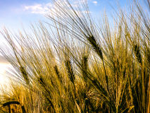 Green wheat field agriculture. Wheat field. Sunny agriculture blue sky Stock Images