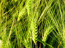 Green wheat field agriculture. Wheat field. Sunny agriculture closeup Stock Image