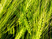 Green wheat field agriculture. Wheat field. Sunny agriculture closeup Stock Photos