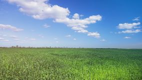 Green wheat field. / agriculture Ukraine stock video