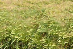 Green wheat field background. Copyspace in upper part. Focus on lower plants Stock Images