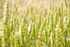 Green wheat field bokeh Royalty Free Stock Images