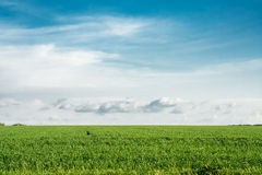 Green wheat field on a background of blue sky. With clouds stock image
