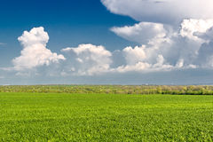 Green wheat field on the background of blue sky Stock Images