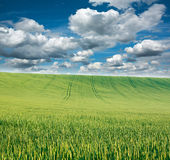 Green wheat field on background of blue sky and clouds Royalty Free Stock Images