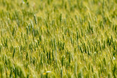 Green wheat field background Royalty Free Stock Images