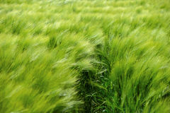 Green wheat in the field Stock Photo