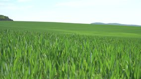 Green wheat field on a background of mountains. Green wheat field on a background of mountains in spring stock footage