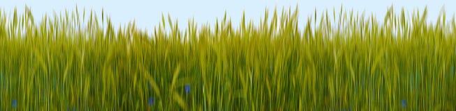Green Wheat-field Stock Photos