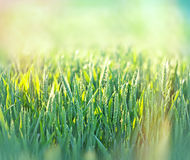 Green wheat field Stock Photo