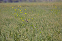 Green wheat field and bird Royalty Free Stock Photos