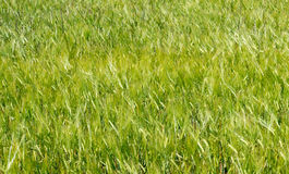 Green Wheat Field (1) Stock Photo