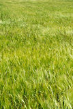 Green Wheat Field (2) Stock Image