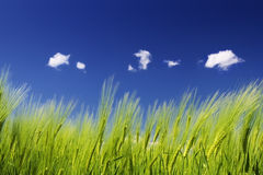 Green wheat field and blue sky. Details of green wheat field with blue sky and clouds in background Stock Photo