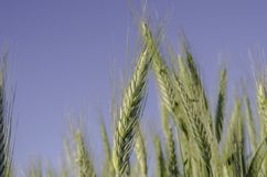 A green wheat in field with blue sky. Royalty Free Stock Images