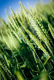 Green wheat in the field Royalty Free Stock Photo