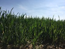 Green Wheat Field And Blue Sky Royalty Free Stock Photography