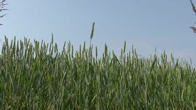 Green wheat field, blue sky background. Slider shot stock footage