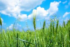 Green wheat field stock photography