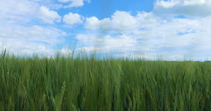 Green wheat field and blue sky with clouds. Green field and cloudy sky stock video