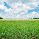 Green wheat field and blue sky Royalty Free Stock Photos