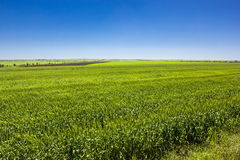 Green wheat field. And blue sky day Stock Images