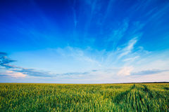 Green wheat field blue sky Royalty Free Stock Images
