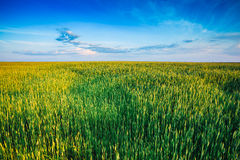 Green wheat field blue sky Royalty Free Stock Photo