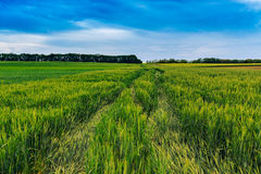Green wheat field and blue sky Royalty Free Stock Images