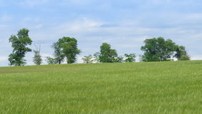 Green wheat field and blue sky. Landscape of wheat fields and trees in the distance stock footage