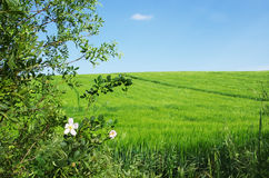 Green wheat field and blue sky Stock Photos
