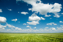 Green wheat field and blue sky spring landscape Royalty Free Stock Images