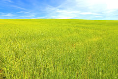 Green wheat field with blue sky Stock Photos