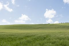 Green wheat field with blue sky. And white clouds Stock Photos