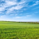 Green wheat field and blue sky with white clouds. Stock Photos