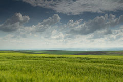 Green wheat field with blues sky and clouds Stock Photos