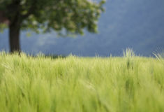 Green wheat field and blurred tree in the background Stock Image