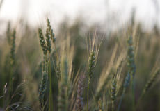 Green wheat field in bright summer day Royalty Free Stock Photos