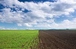 Green wheat field, brown soil and blue sky. Perspective of a transition from  the brown soil to the green field with cloudy sky on the background Royalty Free Stock Photography