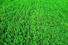 Green wheat field closeup as background, spring landscape Royalty Free Stock Photo
