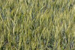 Green wheat field closeup. Ears of grain. Cereal concept. Wheat harvest concept. Rural landscape. Royalty Free Stock Images