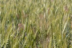 Green wheat field closeup. Ears of grain. Cereal concept. Wheat harvest concept. Rural landscape. Stock Photo
