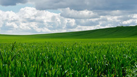 Green wheat field. With clouds Royalty Free Stock Photo