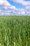 Green wheat field. Royalty Free Stock Image