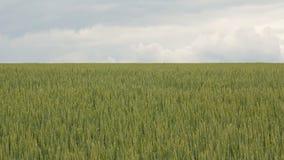 Green Wheat Field. Green field and cloudy sky. Green Wheat Field stock video footage