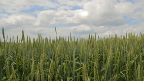 Green Wheat Field. Green field and cloudy sky. Green Wheat Field stock footage
